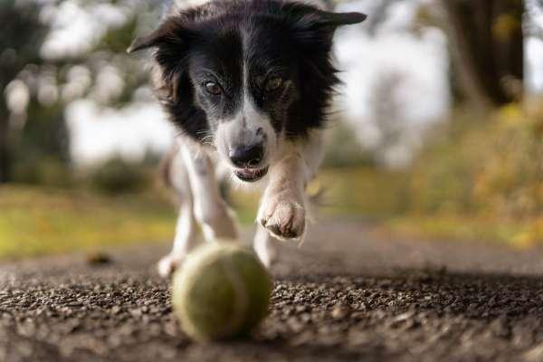 black and white dog chasing tennis ball
