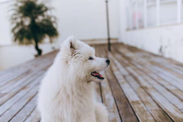 White pomeranian on deck