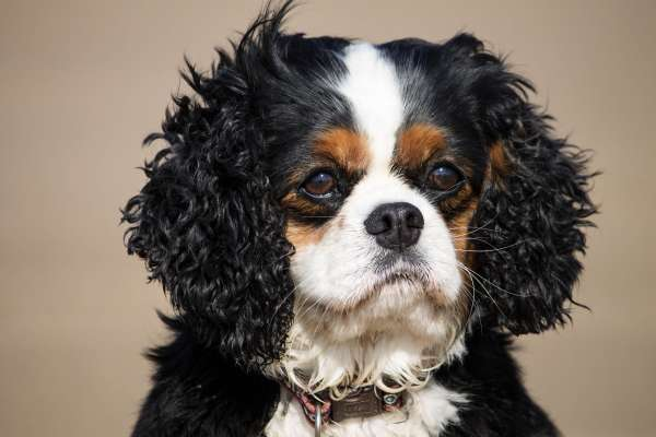 Female Cavalier King Charles Dog Breed, at the beach.