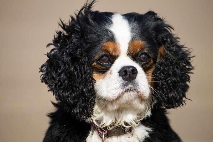 Female Cavalier King Charles Dog Breed