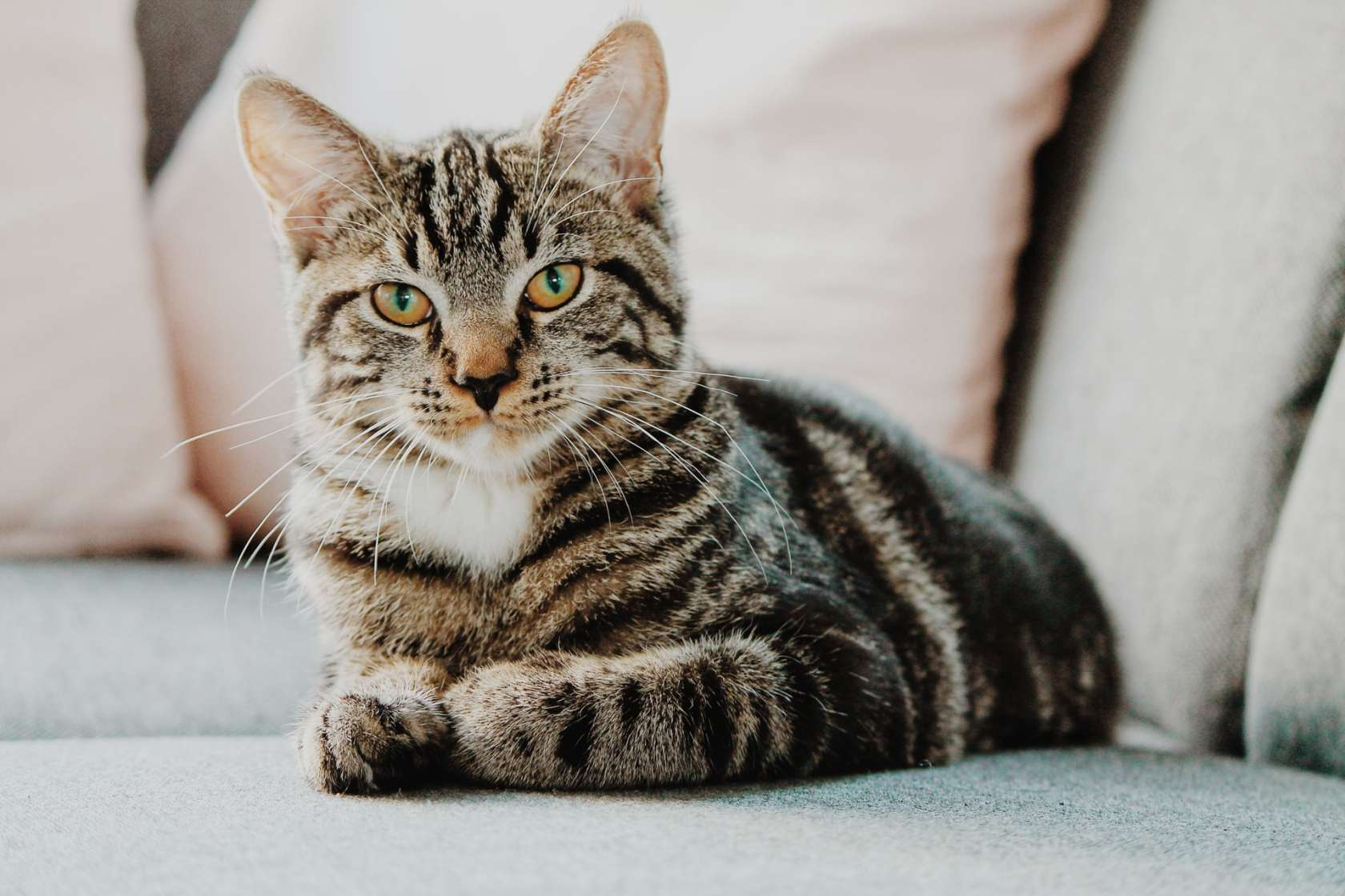 A striped tabby cat sits on a bed